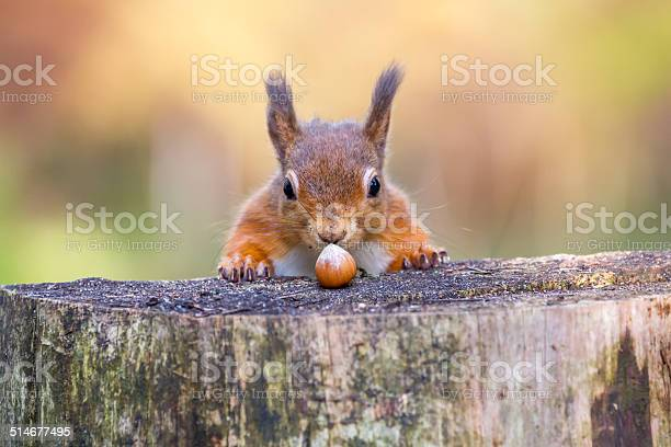 Red squirrel cant believe his luck picture id514677495?b=1&k=6&m=514677495&s=612x612&h=1uo1cmxoiders4zooxwxnylvxqs27zzpemstkrm7f3s=