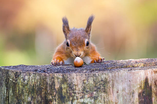 red squirrel can't believe his luck - squirrel stock photos and pictures