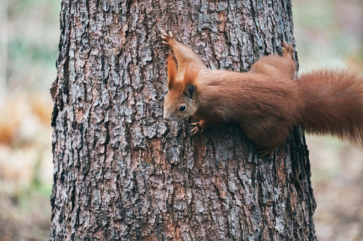 Red squirrel climbing a tree