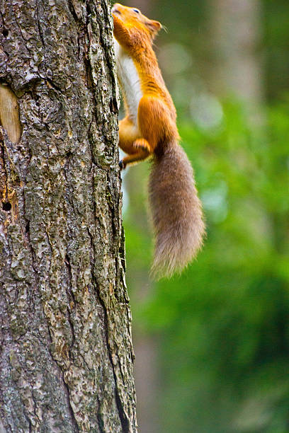 Red Squirrel climbing stock photo