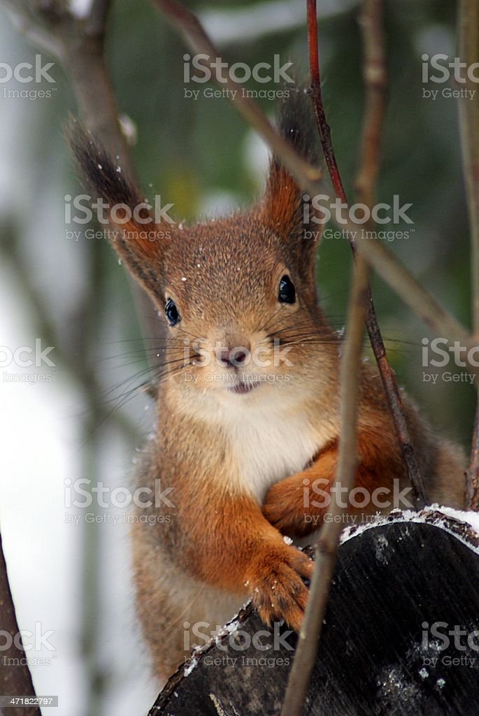 Red squirrel close-up stock photo