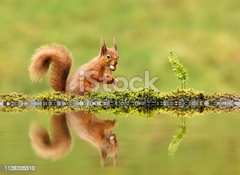istock Red squirrel eating a nut by a pond in autumn 1126205310