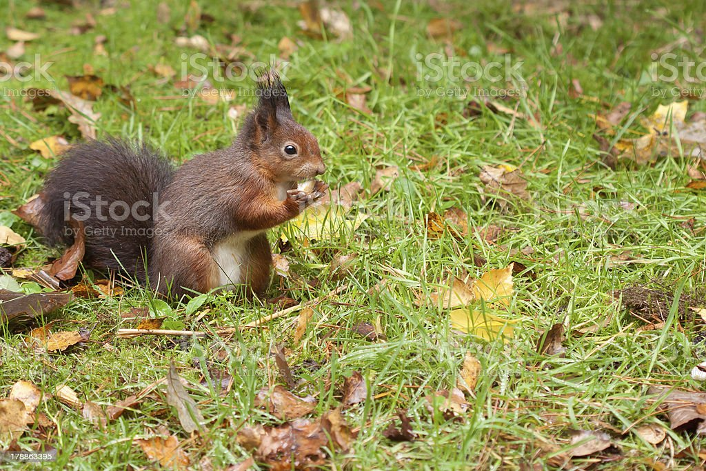 Red Squirrel eating a peanut royalty-free stock photo