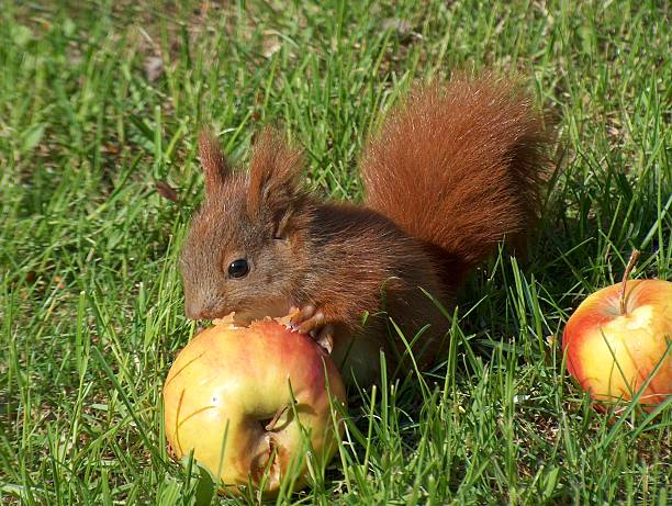 Red squirrel eating an apple close up  pejft stock pictures, royalty-free photos & images