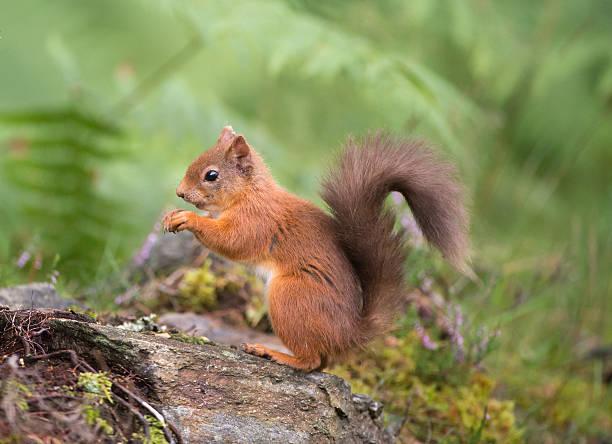 écureuil roux manger en bois - écureui photos et images de collection
