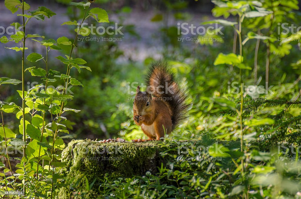 Red Squirrel eating nuts stock photo