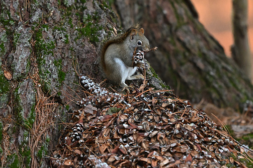 Red squirrel at base of eastern white pine in December, feasting on pine cones while sitting on a pile of open cones and seeds. Note that the red squirrel may turn quite gray in winter and is smaller than the more familiar gray squirrel.