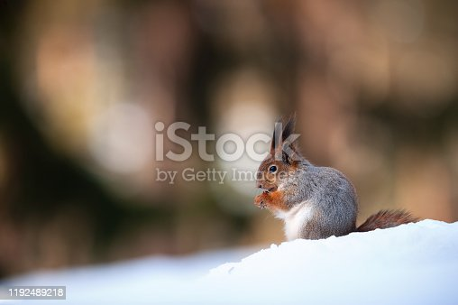 Cute red squirrel eats a peanut in winter scene with nice blurred forest in the background