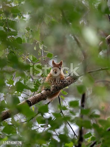 A Red Squirrel (Sciurus vulgaris) looking down from a tree branch in Finland