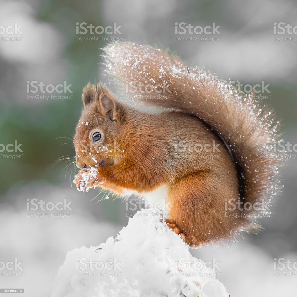 Red Squirrel gathering food to survive the Winter stock photo