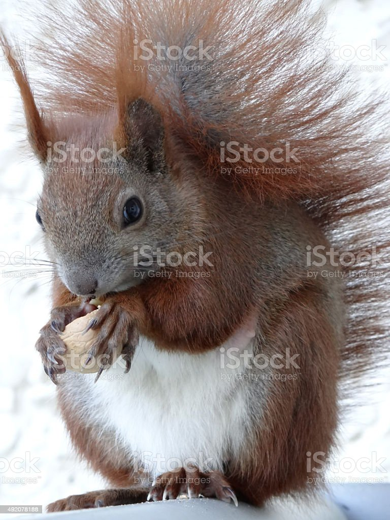 Red squirrel holding a nut stock photo