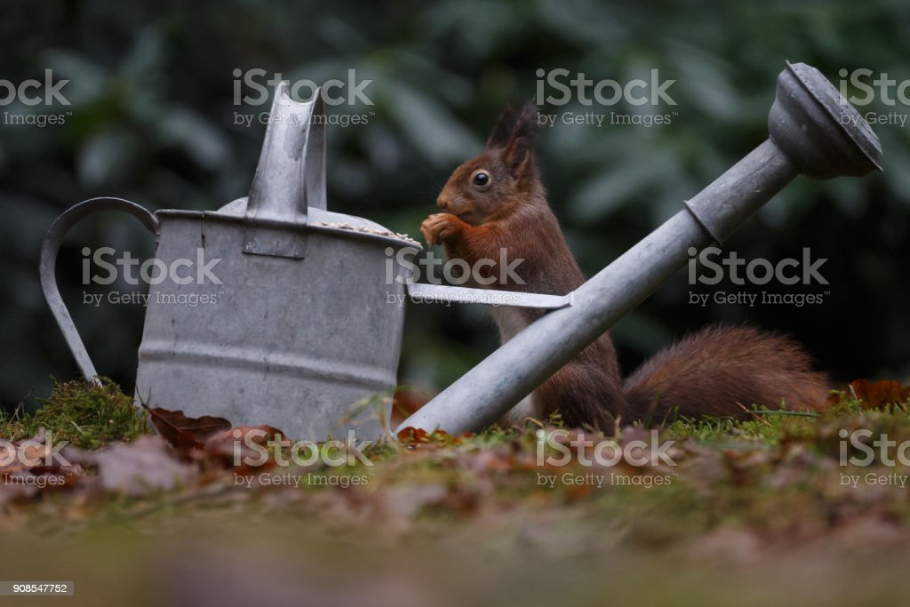 Red squirrel in a forest stock photo
