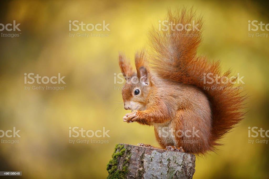 Red squirrel in autumn colours stock photo
