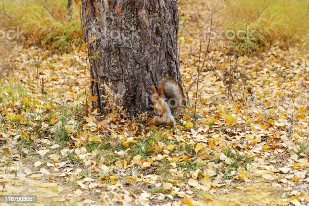 Photo of Red squirrel in forest at autumn.