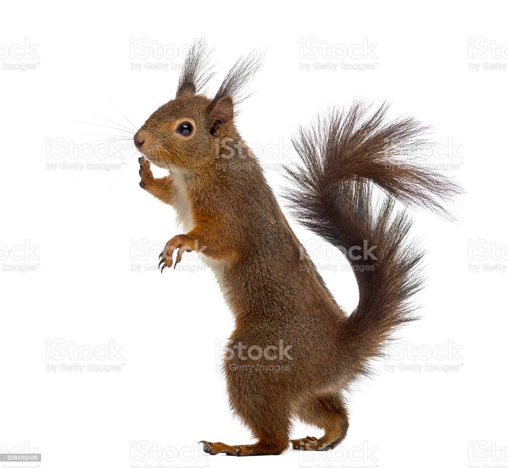 Red squirrel in front of a white background stock photo
