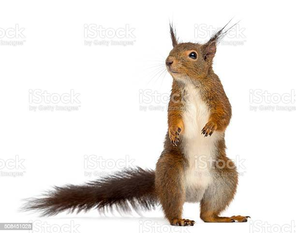 Photo of Red squirrel in front of a white background