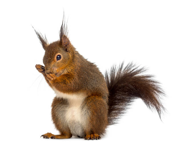 red squirrel in front of a white background - squirrel stock photos and pictures