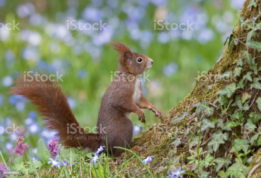 Red squirrel in front of flowering scilla stock photo