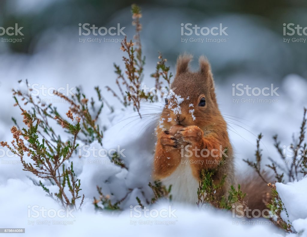 Red squirrel in snow covered forest stock photo