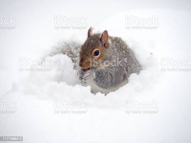 Photo of red squirrel in the snow
