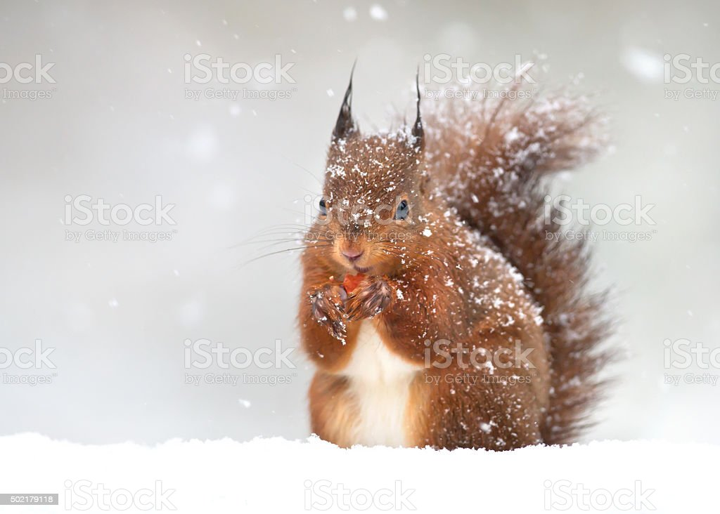 Red squirrel in winter stock photo