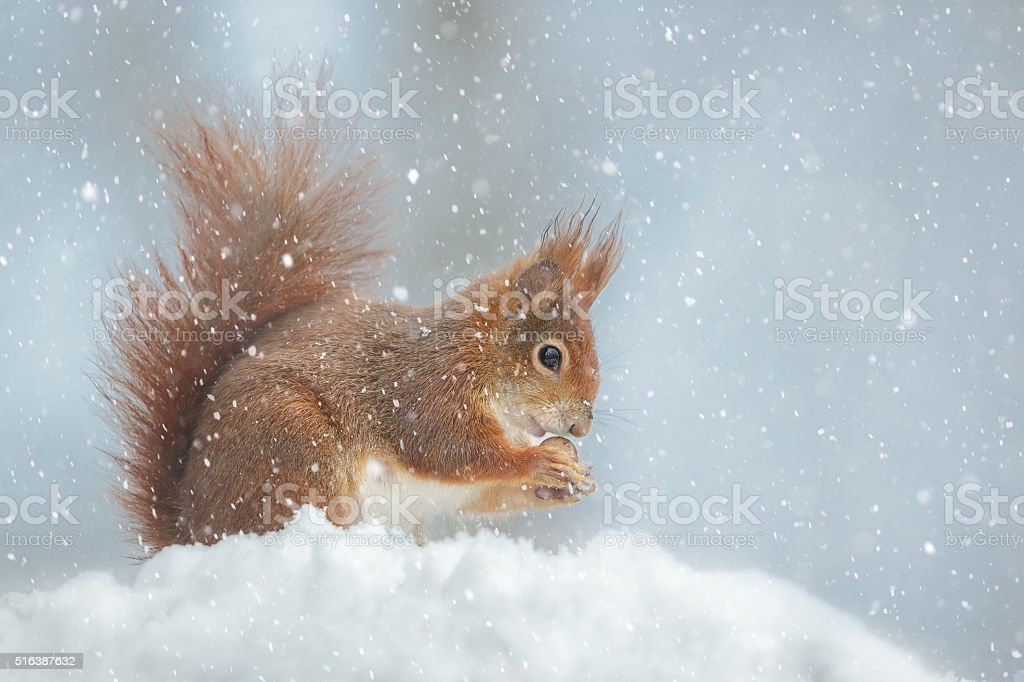 Red squirrel in winter snow flurry stock photo