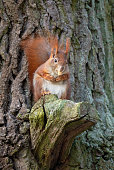 Red squirrel is eating an acorn