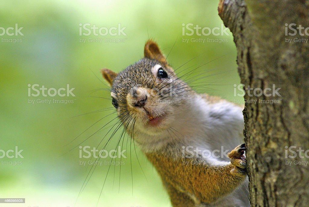 Ardilla roja mirar alrededor de un árbol - foto de stock