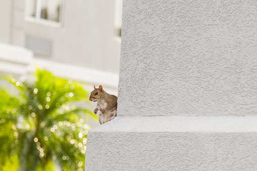 Red Squirrel Looking Around the house sitting over a concrete column in United States of America.
