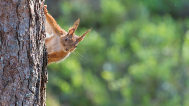 Red squirrel looking over from a tree stock photo
