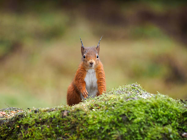 Red Squirrel looking straight at camera. stock photo