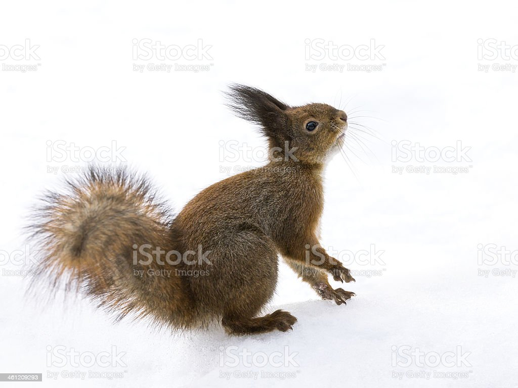 Red squirrel looking up stock photo