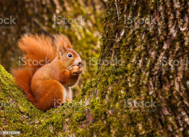 Red squirrel munching on a hazel nut picture id948163948?b=1&k=6&m=948163948&s=612x612&h= xth8 ouwbu 1vwr9viaxxuuw7q8a45wd  0np0kivu=