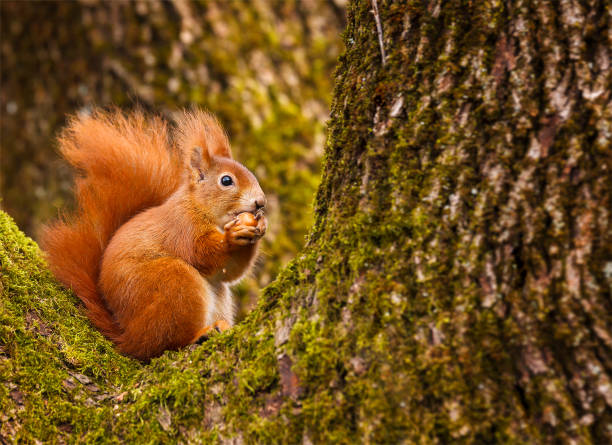 red squirrel munching on a hazel nut - squirrel stock photos and pictures