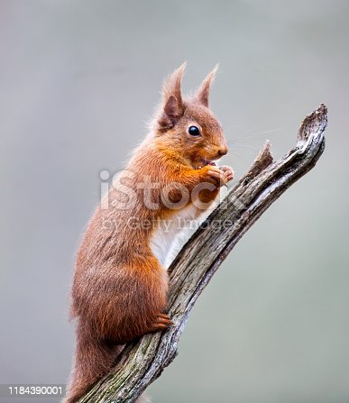 A Red Squirrel standing on a tree branch. Taken in Scotland, UK