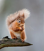 A Red Squirrel standing on a tree branch. Taken in UK