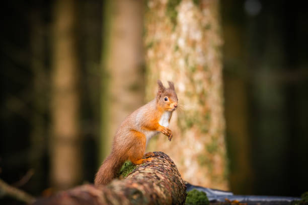 Red Squirrel on an autumn day stock photo