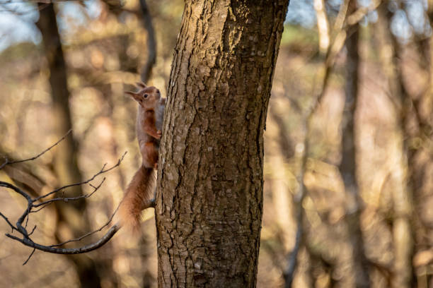 Red Squirrel on Brownsea Island in Dorset in a tree stock photo