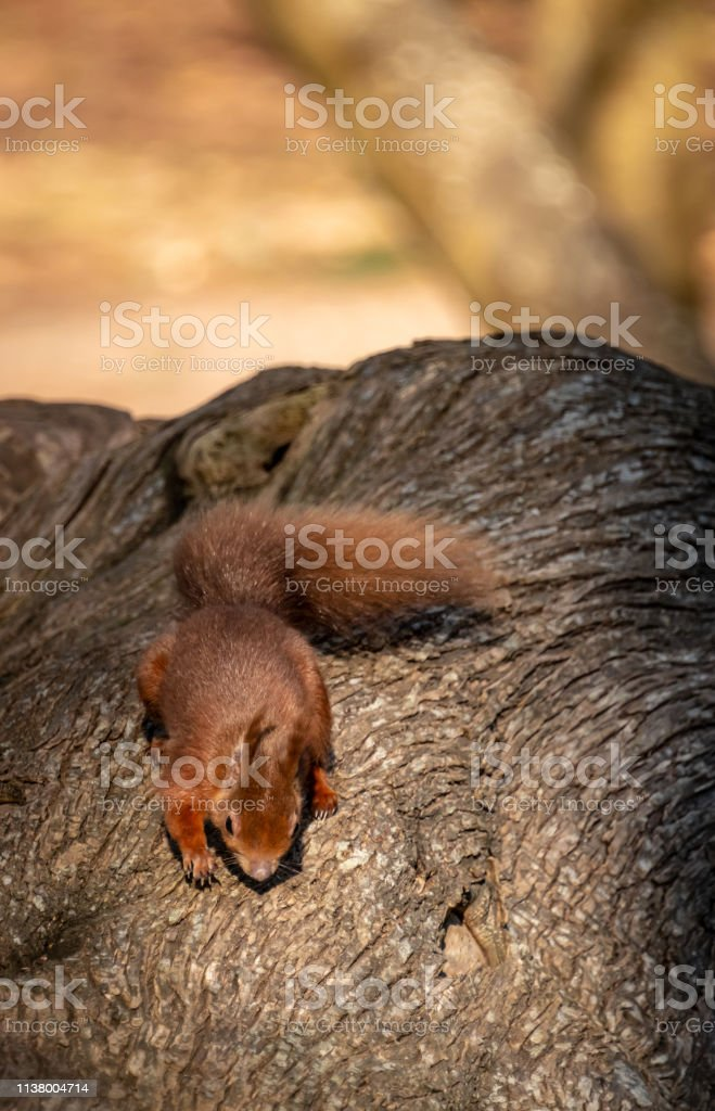 Red Squirrel on Brownsea Island in Dorset stock photo