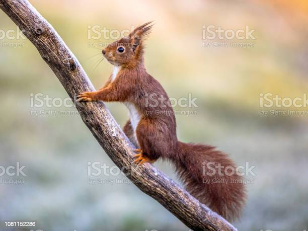 Photo of Red squirrel on frosty branch