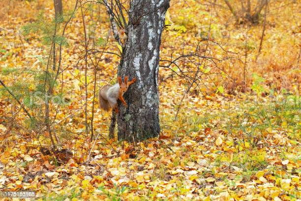 Photo of Red squirrel on tree in forest at autumn.