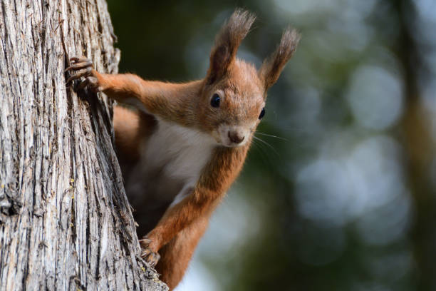 A red squirrel peeks out its head from behind a tree in autumn stock photo