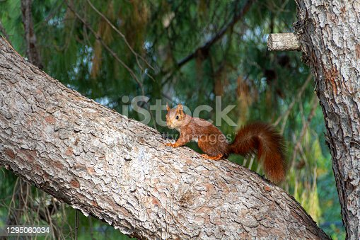 Red squirrel perched on a pine tree and looking at camera