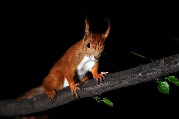 Red Eichhörnchen – Foto
