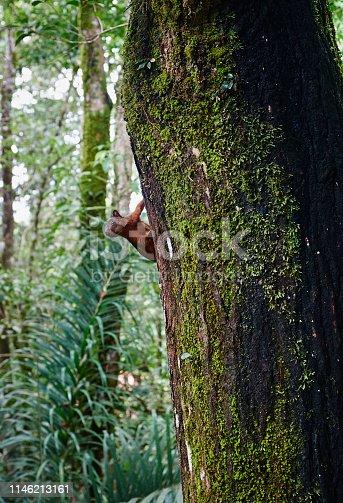 Squirrel peeking round tree trunk in forest