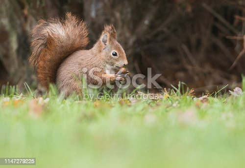 Red squirrel eating acorn in a low perspective