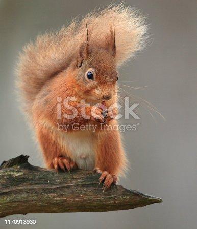 A Red Squirrel sitting on a branch. Taken in Scotland