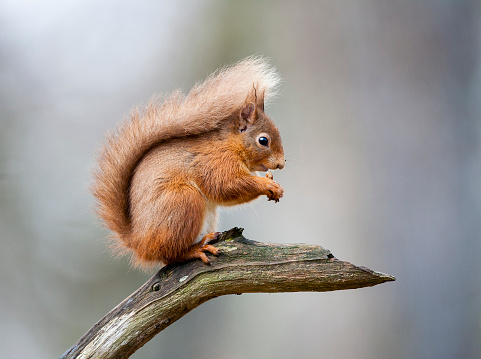A Red Squirrel, sitting on a branch. Taken in Scotland, UK