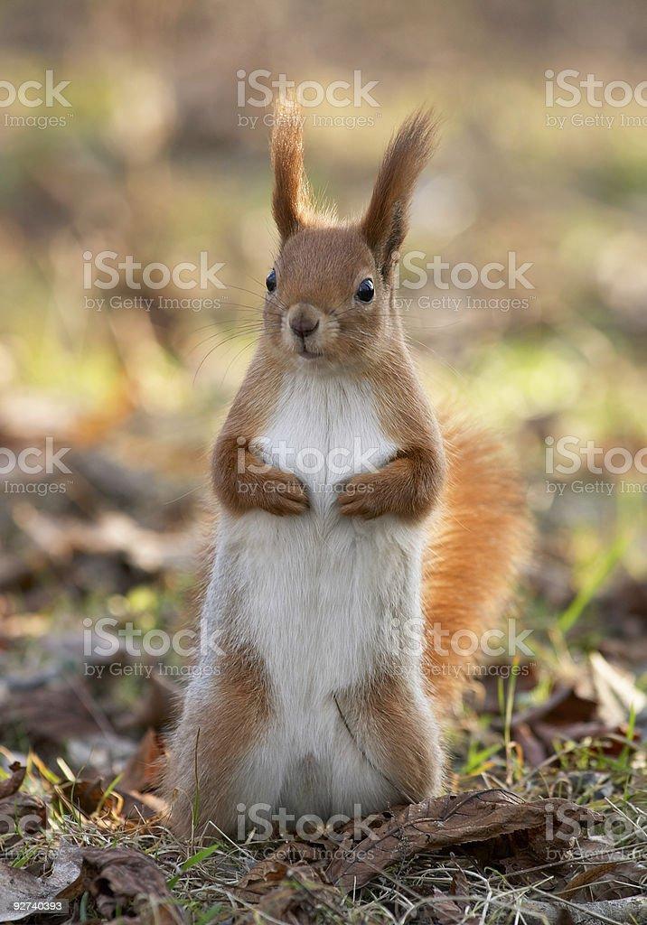Red Eichhörnchen Lizenzfreies stock-foto