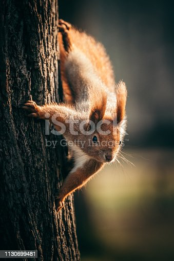 Squirrel hanging on a tree trunk. Looking at camera